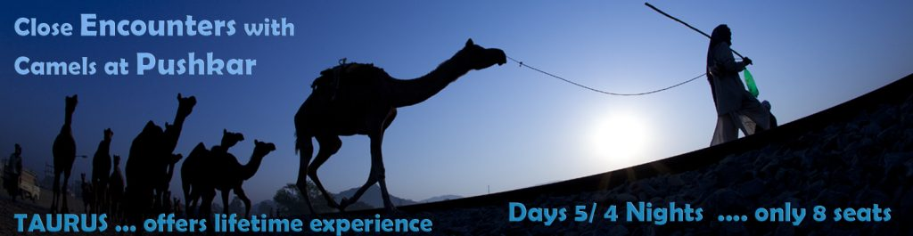 """<img src=""""pushkar cattle fair for camels.jpeg"""" alt=""""best photo tour experience pushkar rajasthani culture, festivals and folk art luxury nomadic unique experience of offbeat outdoor overlanding camp for best photography rural rajasthan"""">"""