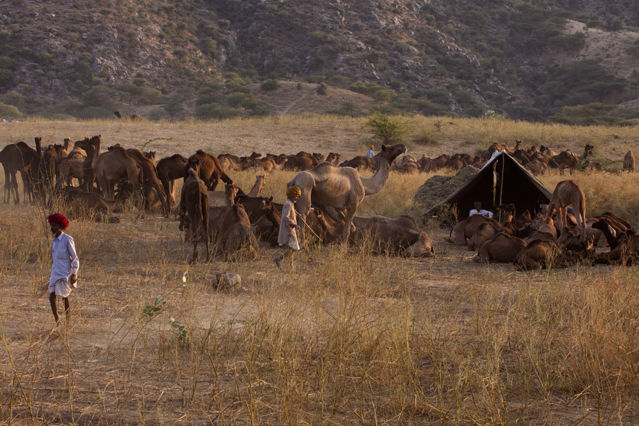"<img src=""camels in wilderness pushkar.jpeg"" alt=""luxury nomadic unique experience of outdoor overlanding camp for photography of camels at pushkar quiet place at secluded places next camel ground best photo tour"">"