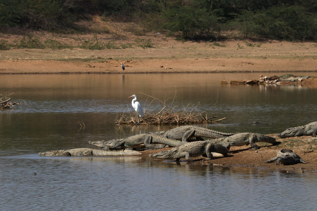 "<img src=""wild crocodiles kutch gujarat.jpeg"" alt=""offbeat caravan campervan photo tour rustic nomadic romantic unique experiential outdoor overlanding camp vacation away from tourists crowd to relax unwind quiet place at secluded peaceful silent places next to nature wildlife kutch gujarat"">"
