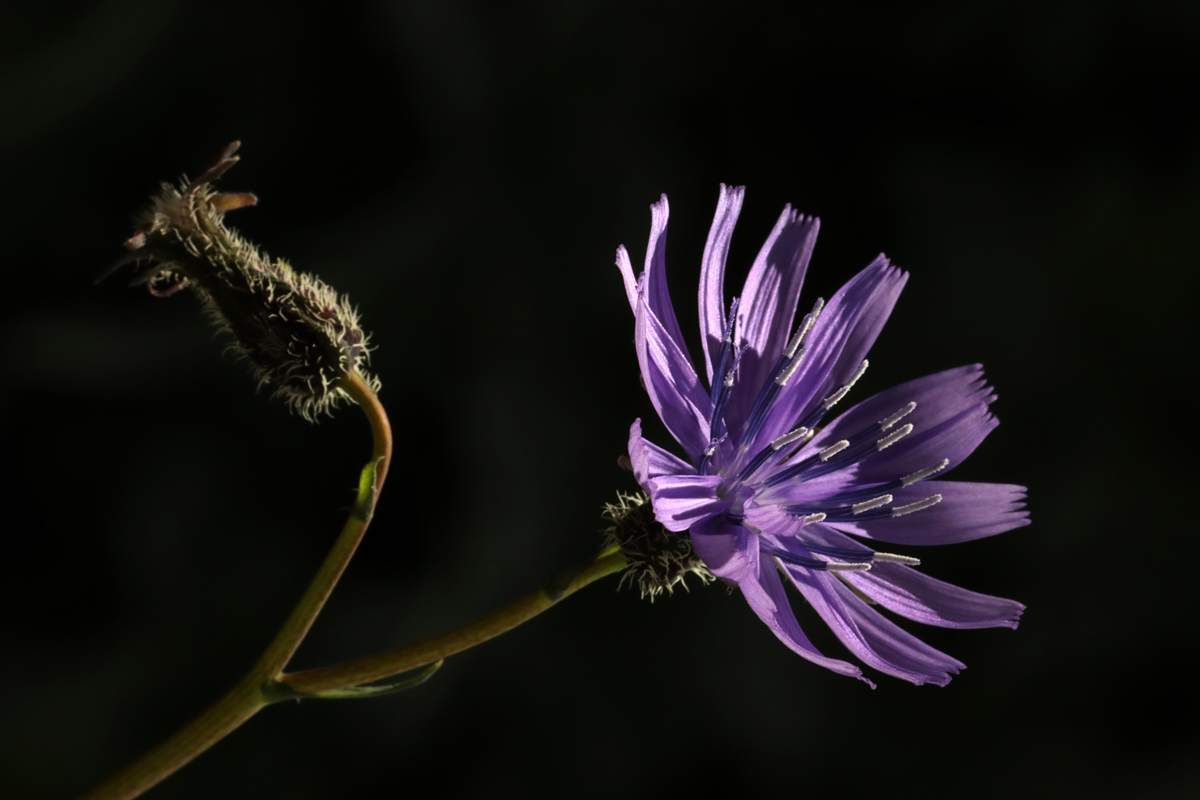 Wild Flower from Pin Valley, Spiti